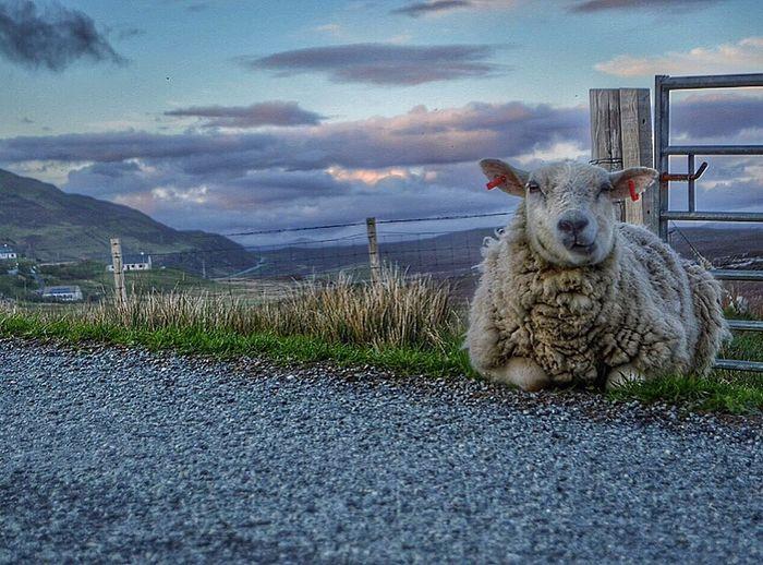 Animal Themes One Animal Domestic Animals Mammal Pets Sky Cloud Zoology Countryside No People Cloud - Sky Animal Tranquility Isleofskye Scotland Outdoors Highlands Baa Sheep Sheepys Nikon