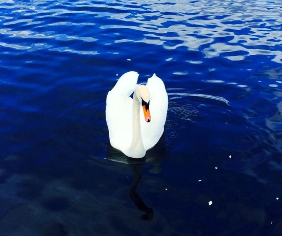 I still Belive this Swan is my Soulmate . Water Animals Beauty ! Taking Photos EyeEm Nature Lover Popular Photos