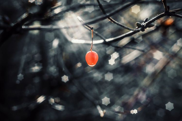 Low angle view of red berry hanging from tree