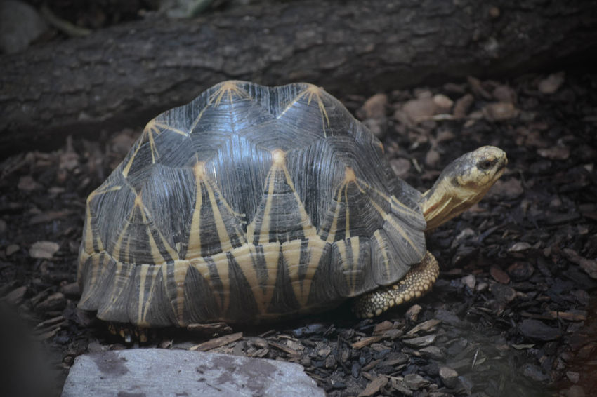 Animal Markings Animal Themes Animal Wildlife Beauty In Nature Close-up Day Focus On Foreground Giant Tortoise Ground Natural Pattern Nature No People Outdoors Selective Focus Tranquility Wildlife Zoo Zoo Animals  Zoo Photography