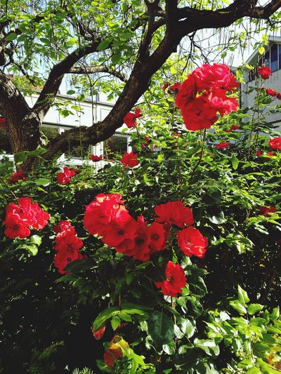 Close-up of fresh red flowers blooming in park