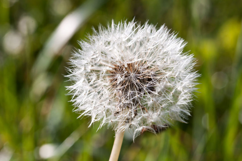 A close-up of a dandelion in the morning sunlight Beauty In Nature Close-up Dandelion Dandelion Seed Day Flower Flower Head Fragility Freshness Grass Growth Makro Makro Flower Nature No People Outdoors Plant Pusteblume Seed Softness