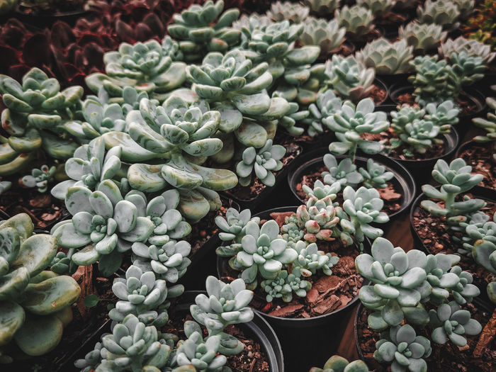 High angle view of succulent plant in market