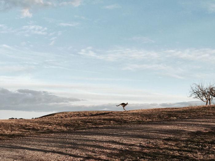 Kangaroo on land against sky