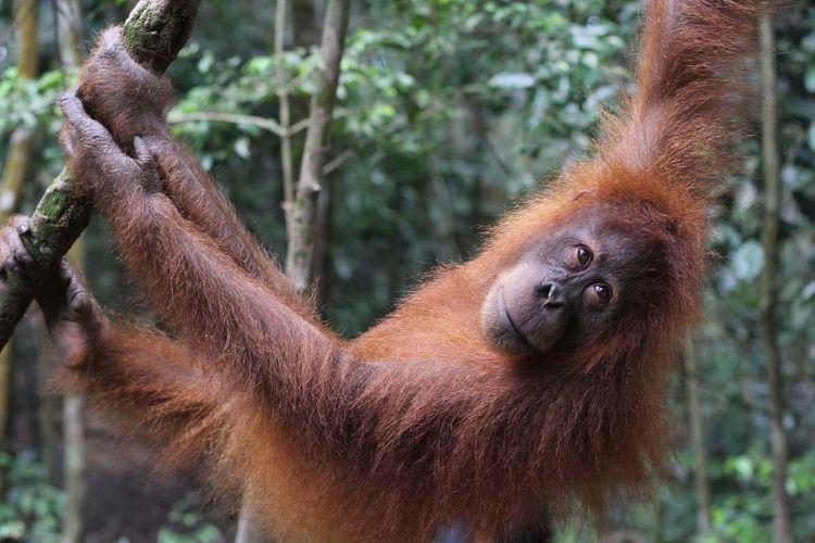 Sumatran orangutan hanging on tree
