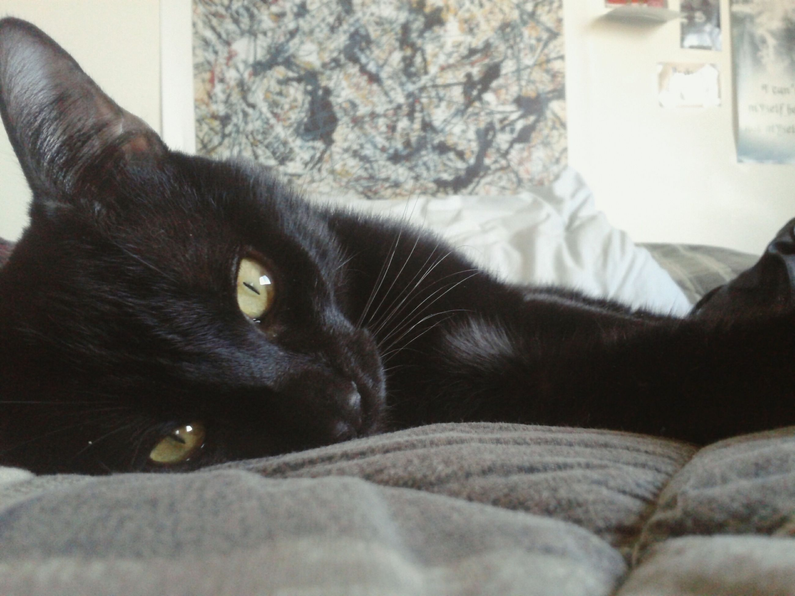 pets, indoors, domestic animals, domestic cat, cat, animal themes, one animal, mammal, relaxation, feline, bed, home interior, lying down, resting, whisker, sofa, portrait, black color, home, looking at camera