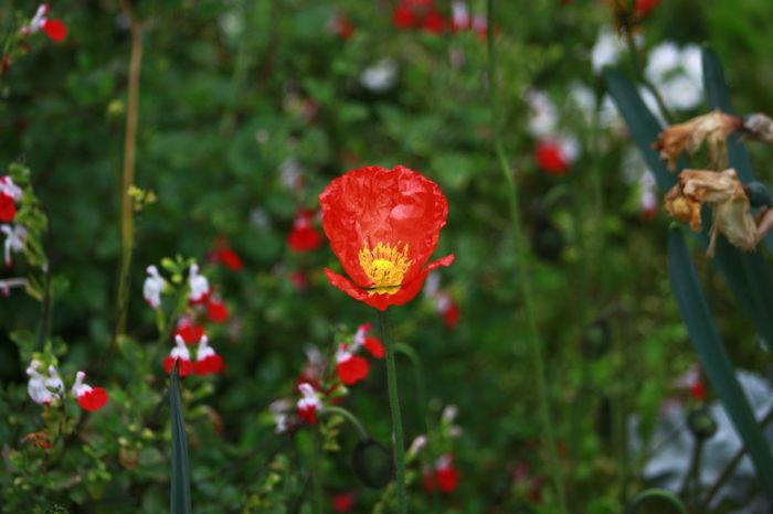 Showcase April Beauty In Nature Nature Outdoors Fleurs Pastel Colors Papaveri.rossi.passion.spring.sun.hot.aspettando.l'estate