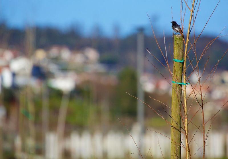 Birfdaygetaway Black Redstart Nature Phoenicurus Ochruros Spring Sun Tiny Wildlife