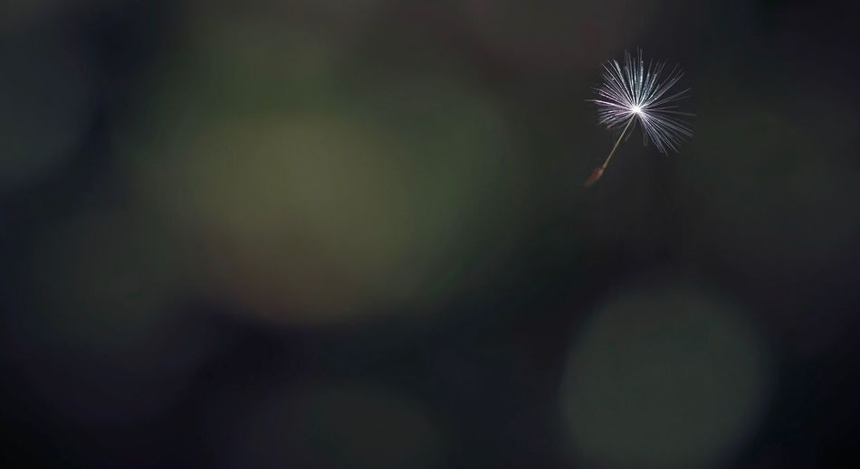 Close-up of dandelion against sky at night
