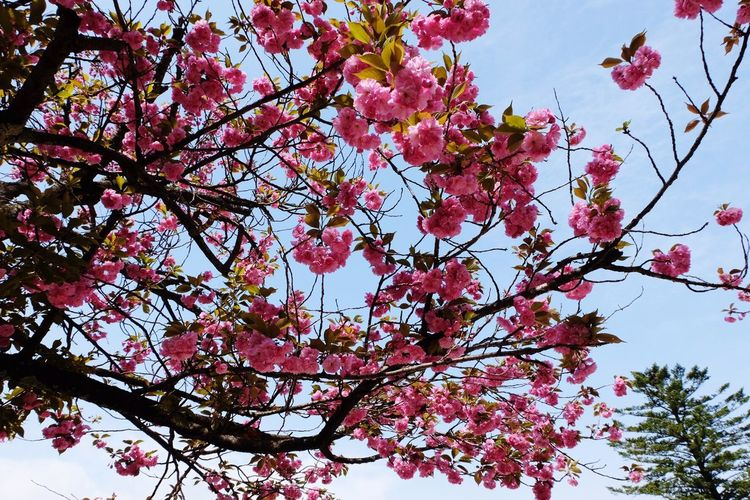 The beauty of cherry blossom Flower Beauty In Nature Nature Blossom Tree