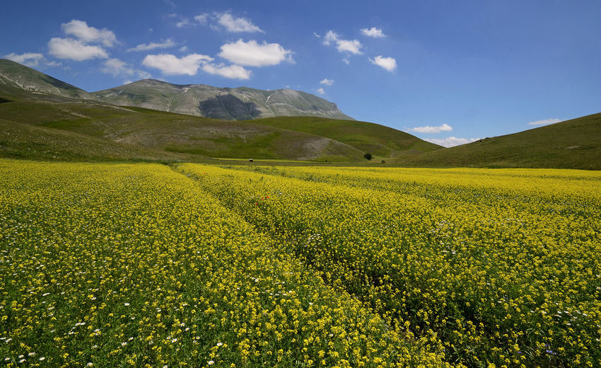 agricultural blooming field at high altitude Agriculture Agricultural Field Blooming Flowering Plant Mountain Italy Yellow Flower Sky Sunny Sunlight Vibrant Outdoors Environment EyeEm Nature Lover EyeEm Gallery