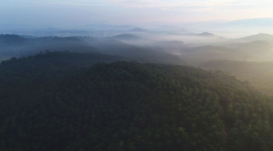 An aerial shot of palm oil plantation. Beauty In Nature Day Fog Hazy  Landscape Mist Mountain Mountain Range Nature Nature, Plantation, Green, Landscape, Agriculture, Field, Plant, Leaf, Farm, Organic, Sky, Land, Countryside, Harvest, Rural, Fresh, Farming, Beautiful, Growth, Grow, Hill, Mountain, Asia, Terrace, Crop, Natural, Scenery, Farmland, Cultivated, Aerial, Env No People Outdoors Scenics Sky Tranquil Scene Tranquility Tree