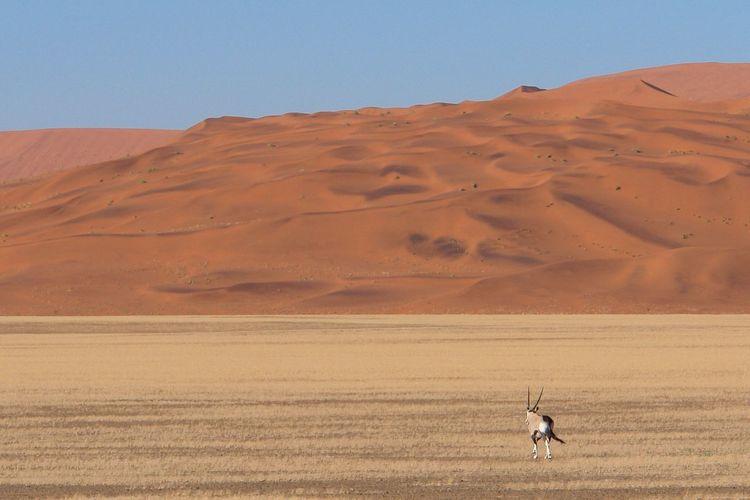 Rear view of oryx standing at namib desert