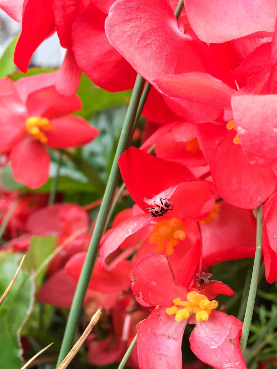 flower, one animal, petal, animals in the wild, insect, animal themes, growth, beauty in nature, nature, animal wildlife, red, fragility, plant, flower head, outdoors, day, no people, blooming, freshness, close-up, bee, pollination, buzzing