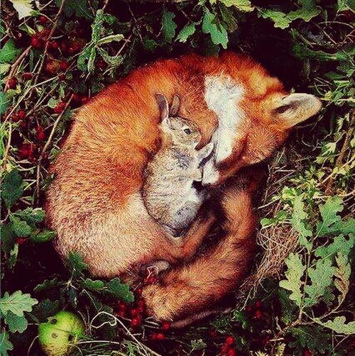 مام ریوی له حالی استراحهت دا لهگهل خؤشهویستهکهی Fox Love Relaxing Beautiful First Eyeem Photo