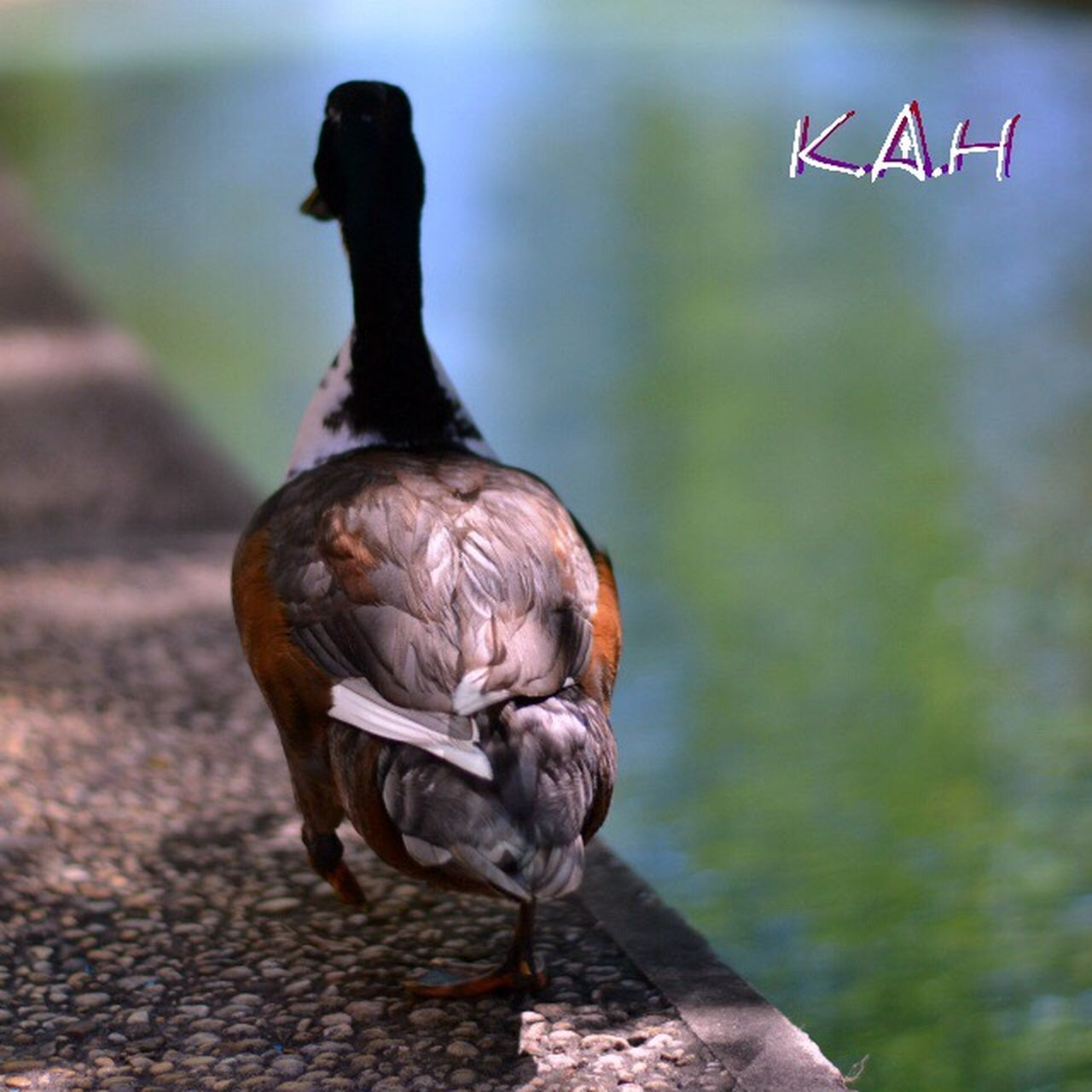 bird, animal themes, animals in the wild, animal wildlife, one animal, focus on foreground, no people, nature, day, outdoors, water, full length, close-up