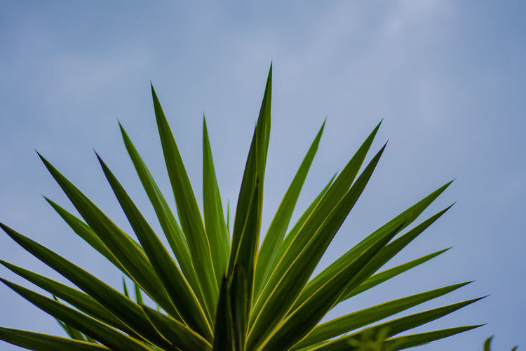 blades Growth Leaf Plant Plant Part Green Color Beauty In Nature Nature Day No People Close-up Low Angle View Tranquility Focus On Foreground Sky Outdoors Sunlight Palm Leaf Freshness Aloe Palm Tree Blade Of Grass