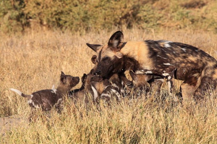 African Wild Dog And Puppies On Field During Sunny Day
