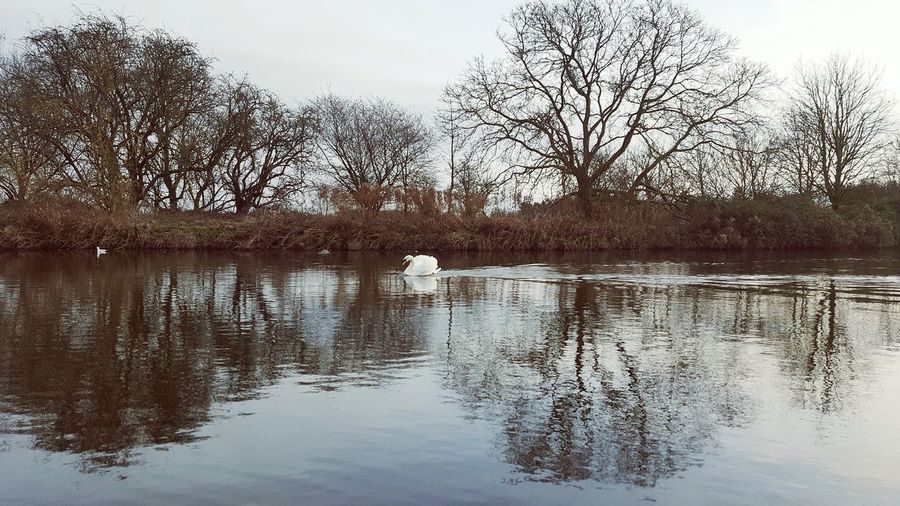 Swan on river Reflection Tree Animal Themes Water Nature Animals In The Wild Swan River
