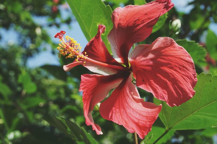 Eyeem Philippines Flower Hibiscus Flower Hibiscus Nature Nature_collection Nature Photography