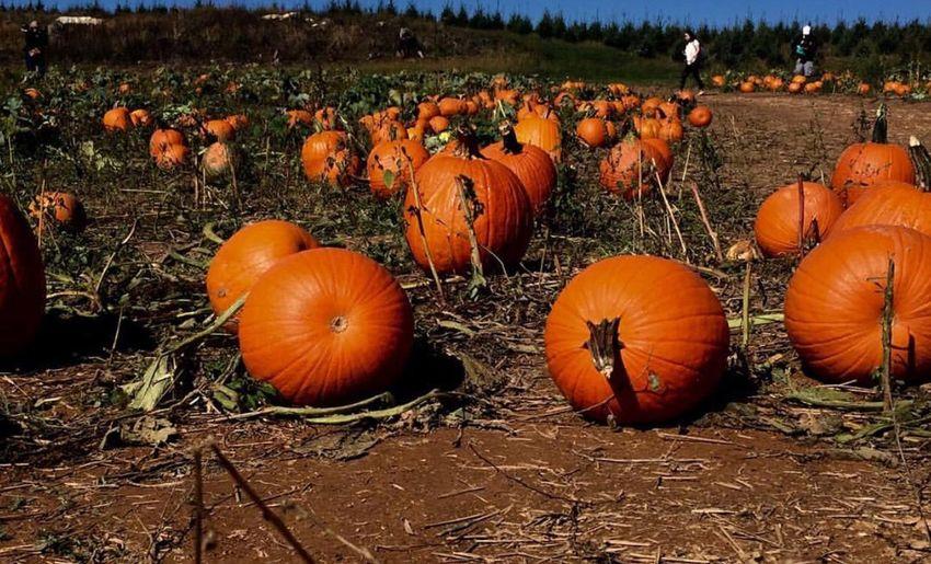 Pumpkin 🎃