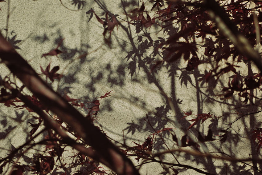 Tree Plant Branch Nature Growth No People Day Beauty In Nature Outdoors Sunlight Tranquility Silhouette Plant Part Leaf Close-up Shadow Selective Focus Land Acer Palmatum Maple Tree Nature Pattern Pattern, Texture, Shape And Form Autumn Mood