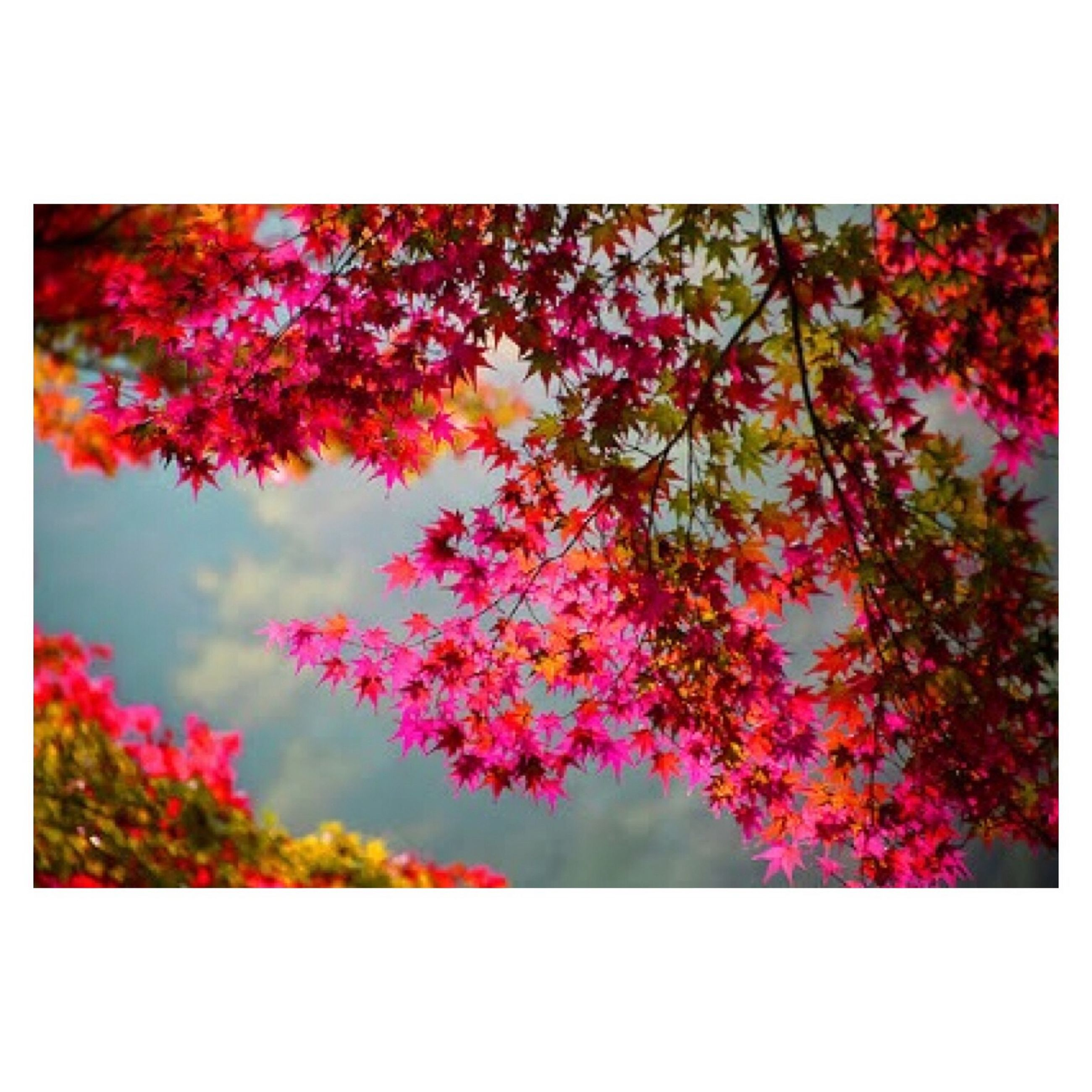 transfer print, auto post production filter, flower, growth, beauty in nature, nature, tree, freshness, pink color, fragility, branch, red, outdoors, plant, leaf, low angle view, tranquility, blossom, no people, day