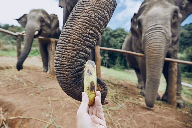Hand with banana feeding to elephant. Chiang Mai Province, Thailand. Banana Care Chiang Mai Eating Feeding  Nature Thailand Travel Animal Body Part Close-up Elephant Enjoy Enjoyment Experience Fruit Giving Hand Holding Human Body Part Human Hand Personal Perspective Tourism Travel Destinations Trunk