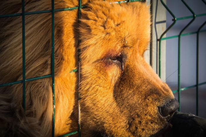 Tibetan Mastiff Nursery Animal Animal Body Part Animal Head  Animal Themes Animals In Captivity Big Dog Brown Cage Close-up Dog Domestic Animals Mammal One Animal Pets Relaxation Vertebrate