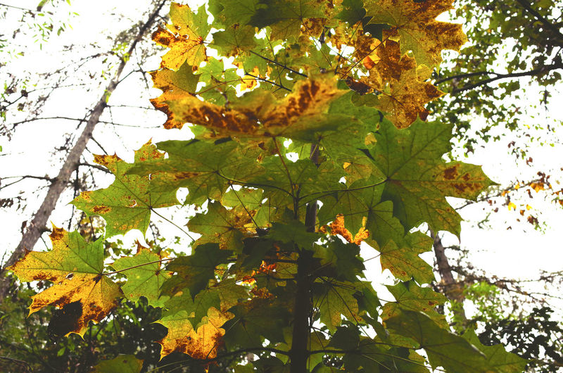 autumn 2016 Autumn Autumn Autumn Colors Autumn Leaves Beauty In Nature Branch Change Fragility Freshness Green Green Color Growth Leaf Leaf 🍂 Leaves🌿 Low Angle View Nature Outdoors Season  Seasons Tree Tree Trunk