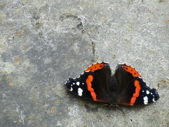 Animal Markings Animal Themes Animal Wildlife Animals In The Wild Butterfly Butterfly - Insect Close-up Day Fragility High Angle View Insect Nature No People One Animal Outdoors Wildlife