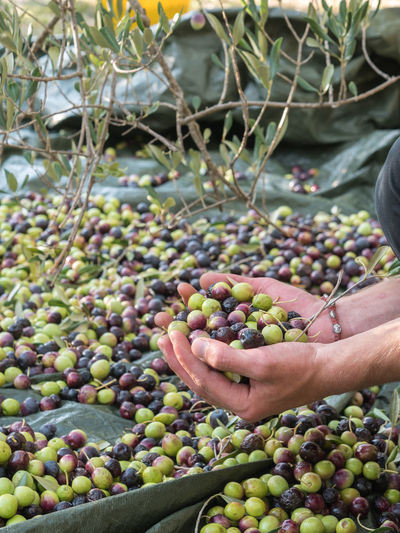 Cropped hands of man holding olives over tarpaulin