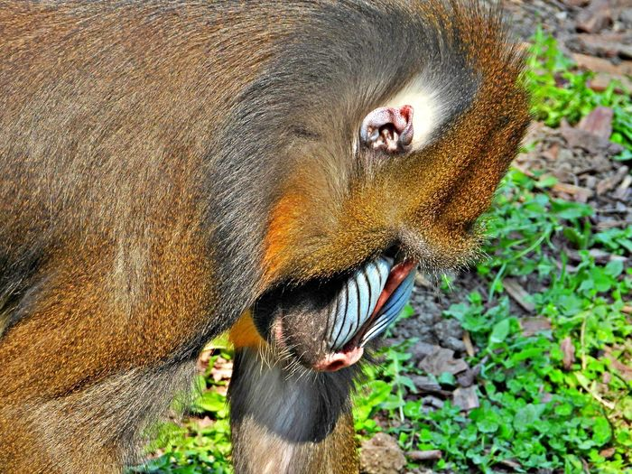 One Animal Animal Animal Themes Mammal Animal Wildlife Animals In The Wild Animal Body Part Close-up No People Monkey Animal Head  Animal Mouth Outdoors Mandrill Monkey