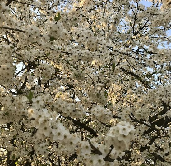 Low angle view of cherry blossom tree