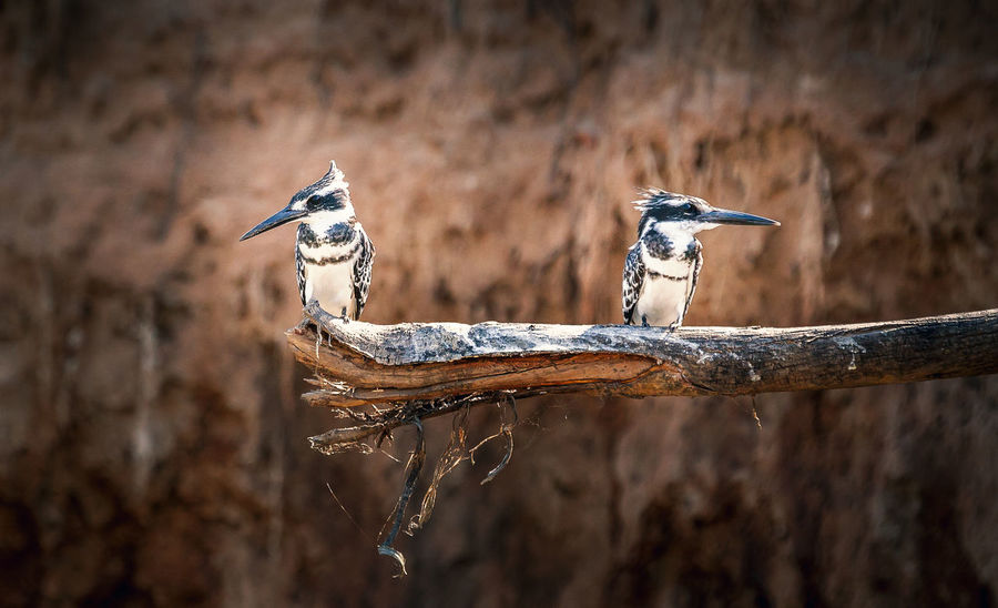 Kingfisher Nature Nature Photography Animal Animal Themes Animal Wildlife Animals In The Wild Bird Branch Close-up Day Focus On Foreground Nature Nature_collection No People One Animal Outdoors Perching Selective Focus Tree Vertebrate Wilderness Wildlife Wood - Material Woodpecker