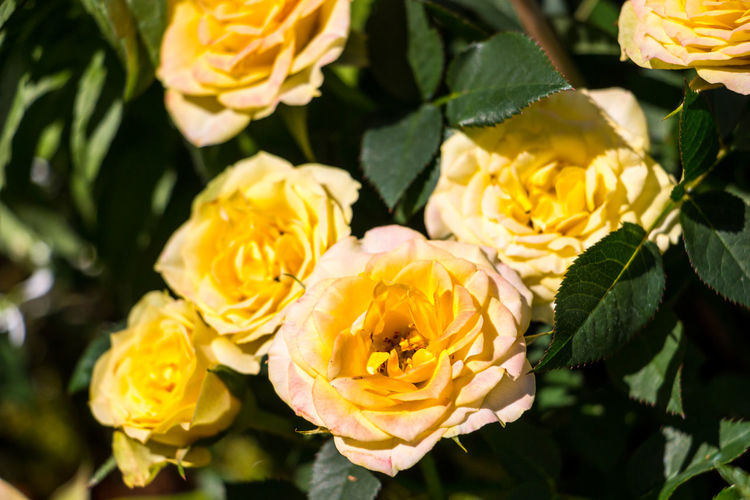 Yellow roses on the green field of the park Beauty In Nature Blooming Close-up Day Flower Flower Head Fragility Freshness Growth Leaf Nature No People Outdoors Petal Plant Yellow