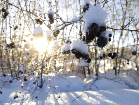 spring Sun Berry Visit Lapland Tree North Climat Minusdegrees