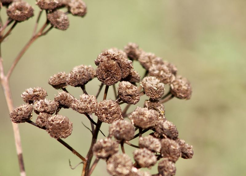 """dried """"Tansy Flower"""" against abstract green field Autumn Autumn Colors Beige Field Green Abstract Backgrounds Backgrounds Beauty In Nature Botany Branch Brown Close-up Environment Fine Art Flower Flower Head Focus On Foreground Fragility Freshness Growth Nature No People Outdoors Plant Tansy"""