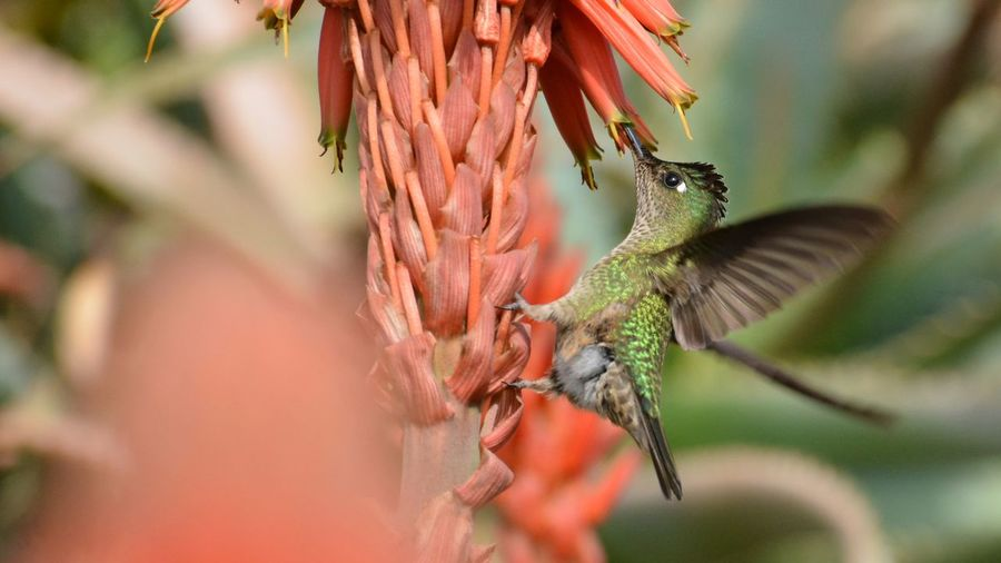 Hummingbird in Chile Hummingbirds Humming Bird Hummingbirdphotography Birds In Flight Nature Park Flowers Close-up Plant Beauty In Nature