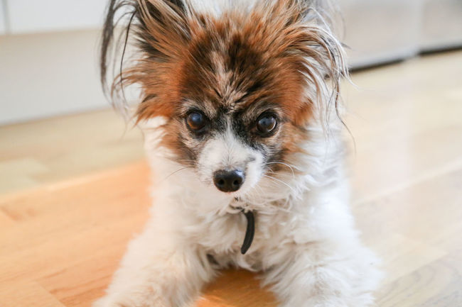 Looking At Camera Canine Dog Domestic Domestic Animals Face Flooring Focus On Foreground Home Interior Indoors  Lap Dog Lap Dogs Laying Down Looking At Camera Mammal No People One Animal Papillon Papillon Dog Pets Portrait Shih Tzu Small Small Dog Vertebrate