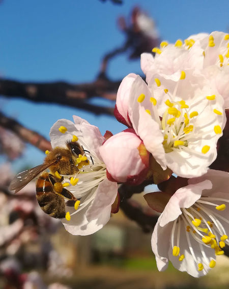May Bee 2 HoneyBee Honeybee On Flower Honeybee Approaching Flower Apricot Apricot Color Apricot Flowers Colorful Apricot Tree Apricot Flower Flower Head Flower Springtime Petal Blossom Close-up Sky Plant