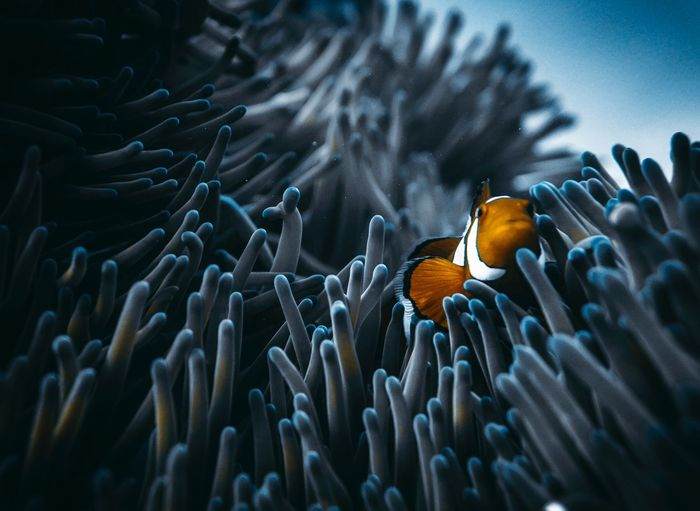 Home sweet home Nemo Diving Dive underwater photography SCUBA UnderSea Animals In The Wild Animal Themes Animal Wildlife Sea Life Underwater Marine UnderSea Animal Sea Coral Water Swimming Nature One Animal Clown Fish