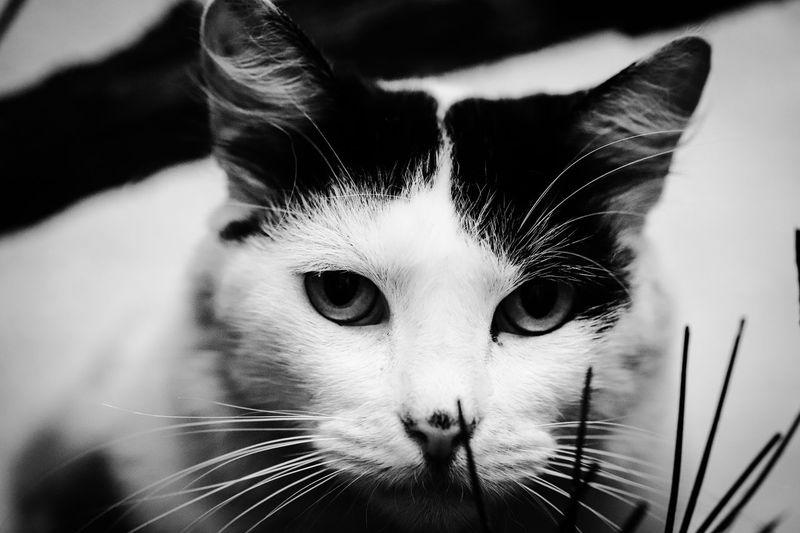 O Gato Domestic