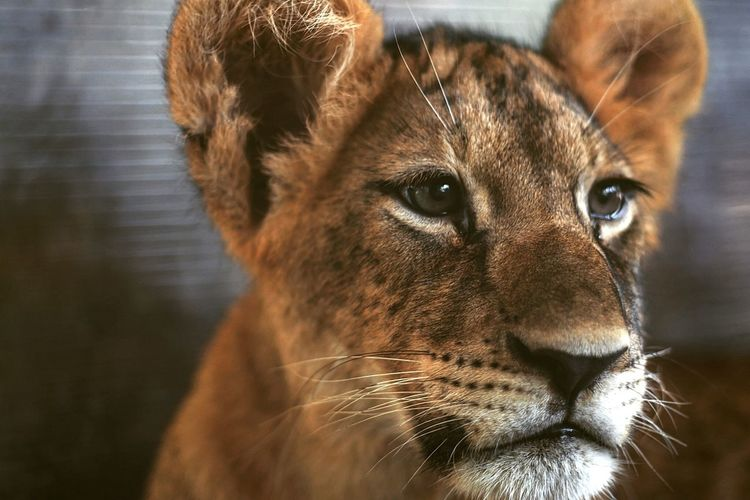 Always Be Cozy One Animal 4-month-old Lion Cub EyeEm Best Shots Zoo Taking Photos Animal Head  Lion - Feline No People Zoo Animals  Fresh On Market 2016