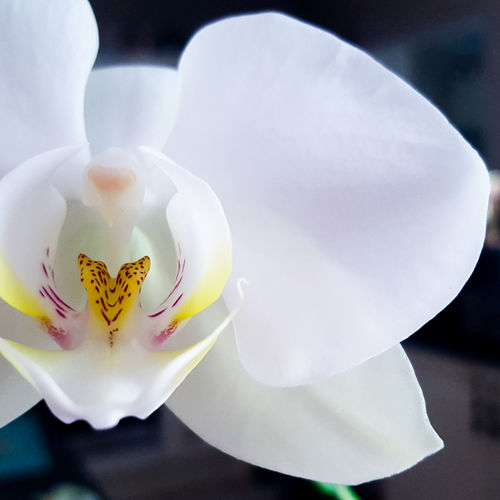 Orchid Close-up Indoors  Fragility Beauty In Nature Plant Photography Macro Nature Macro Photography Macro_collection Beauty Beautiful Nature Flower Orchid Blossom Life Eggshell Minimal Growth Growing Green Pretty Nature Nature_collection Naturelovers Natural Beauty Houseplant