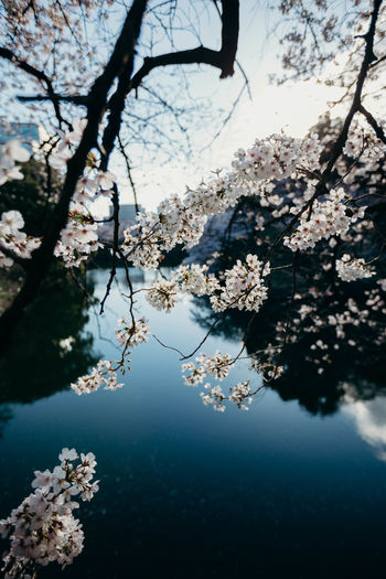 Cherry blossoms blooming on branches above lake