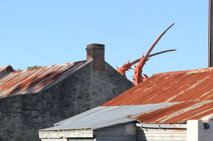 Attack! Giant Lobster Rusty Roof South Australia
