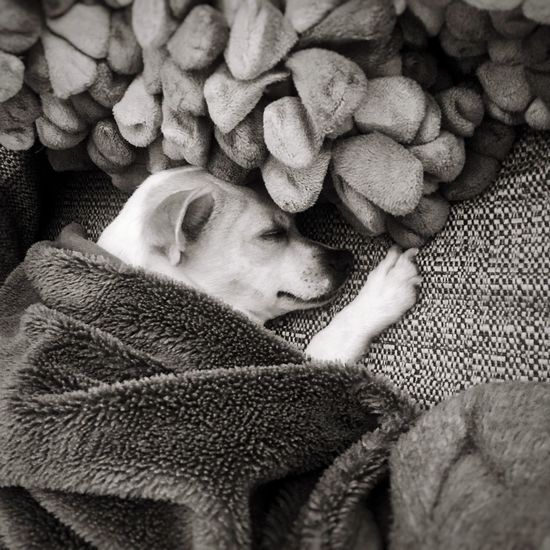 Cute chihuahua, sleeping chihuahua, doggy, best friend, baby chihuahua. Puppy Cute Doggy Cute Chihuahua Sleeping Chihuahua Chihuahua Chihuahua Love ♥ Doggy Love One Person Indoors  Adults Only One Woman Only Only Women Relaxation Adult