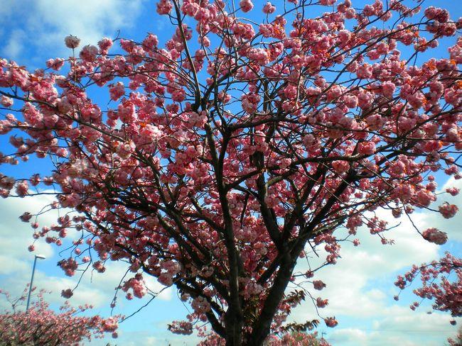 Chaddesden Blossom Tree Porn