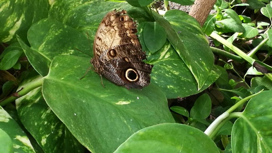 Leaf Butterfly - Insect